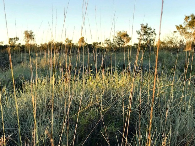 Dense thickets of spinifex
