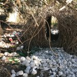Firecraft Environmental, Great Bowerbird bower